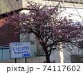 糸川とあたみ桜 74117602