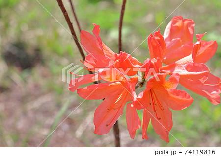 妙高山に自生するオレンジ色のツツジ 74119816