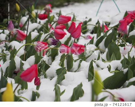 雪に埋もれてうなだれるチューリップ 74121617