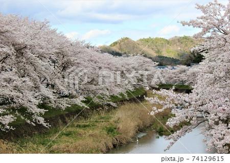 両側の桜並木が迫るように咲く小川 74129615