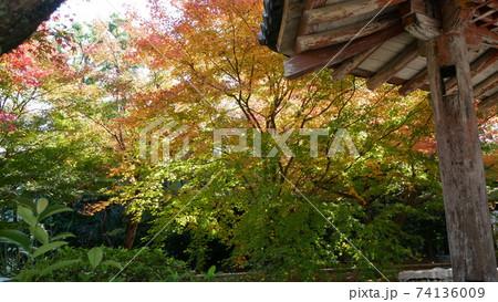 京都の秋 黄色に燃える紅葉と古寺 74136009