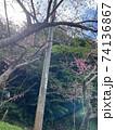 本部町八重岳の桜 74136867