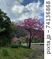 本部町八重岳の桜 74136868