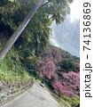 本部町八重岳の桜 74136869