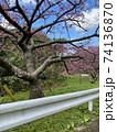 本部町八重岳の桜 74136870