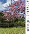 八重岳の桜 74136903