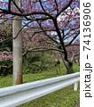 八重岳の桜 74136906