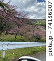 八重岳の桜 74136907