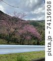 八重岳の桜 74136908