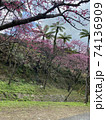 八重岳の桜 74136909