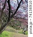 八重岳の桜 74136910