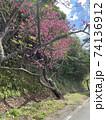八重岳の桜 74136912