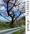 八重岳の桜 74136913