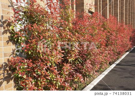 赤い若葉のレッドロビン・アカカナメモチ 74138031