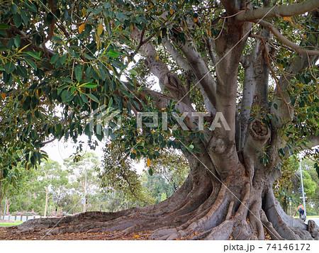 アデレードのセントピーターズ近くの公園の樹 74146172