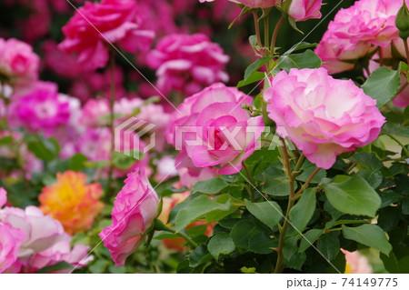 ローズガーデンに咲くピンク色の薔薇 74149775
