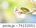 桜とメジロ 74152051