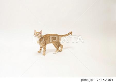白バックの真ん中で上を見る茶トラの子猫のビッケ 74152364