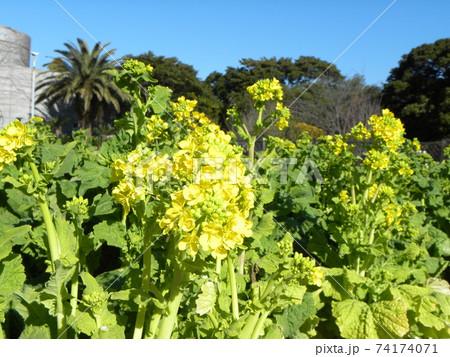 咲き始めた黄色い花は早咲きナバナの花 74174071