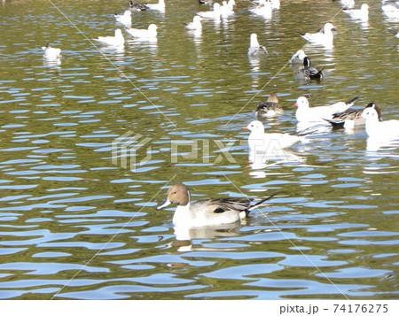 稲毛海浜公園の池に来たユリカモメとオナガガモ 74176275
