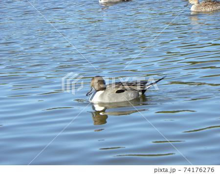 稲毛海浜公園の池に来たオナガガモ 74176276