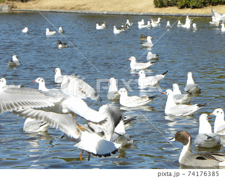 稲毛海浜公園の池に来たオナガガモとユリカモメ 74176385