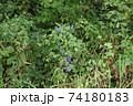 トリカブト 野生 森の中 74180183