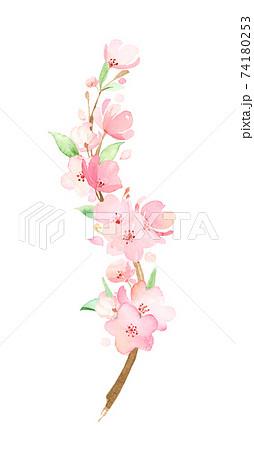 手描き水彩|桜の枝 イラスト 74180253