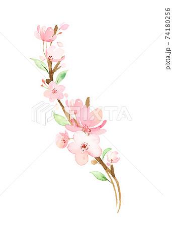 手描き水彩|桜の枝 イラスト 74180256