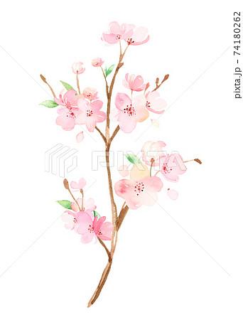 手描き水彩|桜の枝 イラスト 74180262