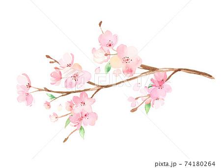 手描き水彩 桜の枝 イラスト 74180264