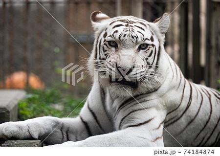 動物 ホワイトタイガー 74184874