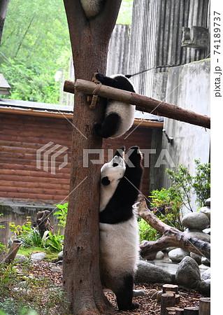 木登りをする子パンダを見守る親パンダ 74189737