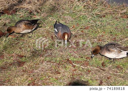 冬の河川敷で餌を探すヒドリガモのオスとメス 74189818