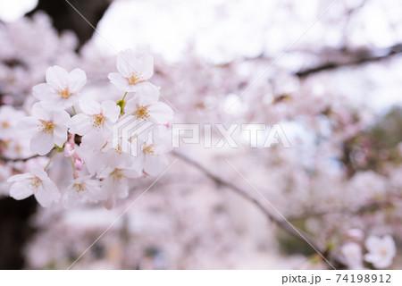 京都京都市中京区の御射山公園の桜 74198912