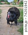 七面鳥 ターキー(雄)2 74201942