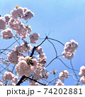 八重桜 74202881