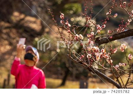 公園の梅の花の写真を撮る赤い服を着た女性 74205782