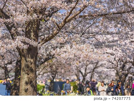 [東京・上野] 上野公園の寛永寺での桜と背景にボケた人たちの姿 74207775
