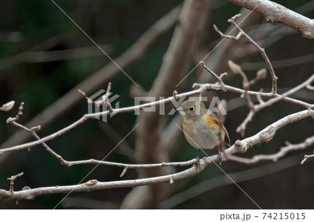 青い鳥の代表格でもあるルリビタキのメス 74215015