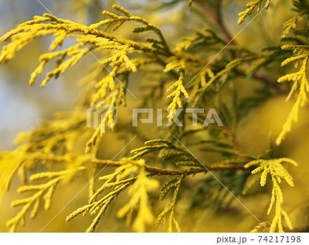 黄色いニオイヒバのクローズアップ 74217198