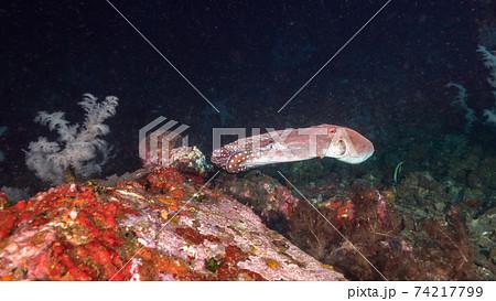 海中洞窟の中を泳ぐワモンダコ (メルギー諸島、ミャンマー) 74217799