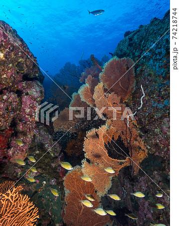 スズメダイの群れと群生するウミウチワ (メルギー諸島、ミャンマー) 74218744