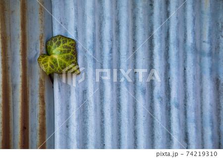 錆びついたトタン屏から力強く顔を出す植物 74219310