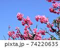 ピンク色が綺麗な緋寒桜の写真素材(沖縄県) 74220635