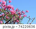 ピンク色が綺麗な緋寒桜の写真素材(沖縄県) 74220636