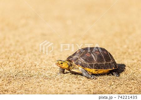 庭の芝生の上で日光浴をするペットの亀 74221435