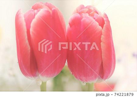 仲良くくっついて咲くピンク色のチューリップ 74221879