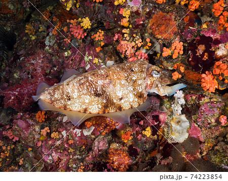 岩の隙間に卵を産み付けるトラフコウイカ (メルギー諸島、ミャンマー) 74223854