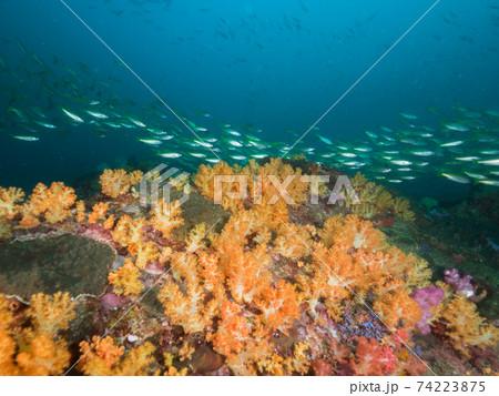 黄色いソフトコーラルに覆われた岩とキンセンフエダイの群れ (メルギー諸島、ミャンマー) 74223875